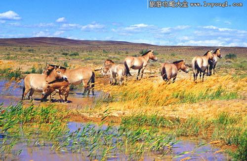卡拉麦里山有蹄类自然保护区动物种类:蒙古野驴